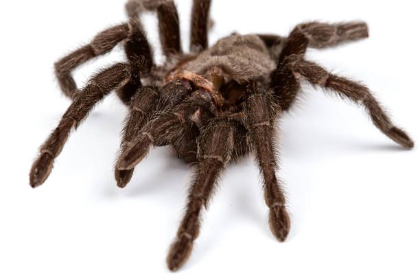 isolated macro photo of brown spider