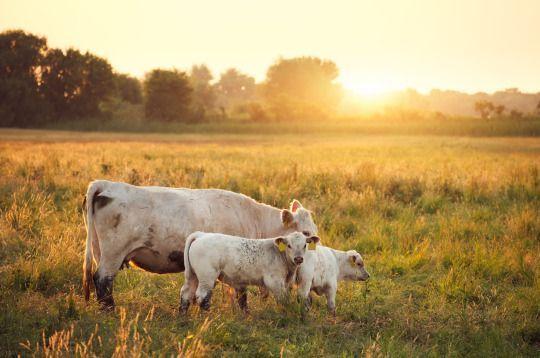 ¿Qué pasaría si los seres humanos dejáramos de consumir carne? ¿Viviríamos peor? ¿El mundo sería un lugar mejor? ¿Todos viviríamos menos años por no consumir proteínas de origen animal? El diario inglés The Independent se ha hecho estas preguntas y las ha respondido de manera rigurosa, citando estudios