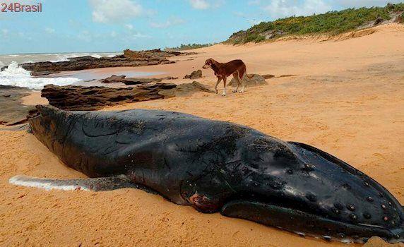 Sétima baleia jubarte é encontrada morta em praia do sul da Bahia