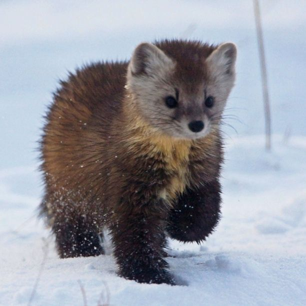 Discovered by Mark Rentz: Cutest pine marten at the Seal River Heritage Lodge, Manitoba, MB