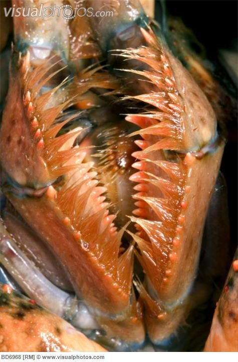 American Lobster Mouth Parts | animal | Pinterest | Mouths, Lobsters and American lobster