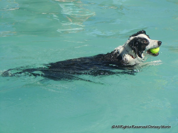 Australian Shepherd with ball in the swimming poolSwimming Pools, Dogs Water, Cody Friends, Border Collies, Dogs Swimming, Shepherd Barker, Australian Shepherd, Water Parks, Dogs Parks