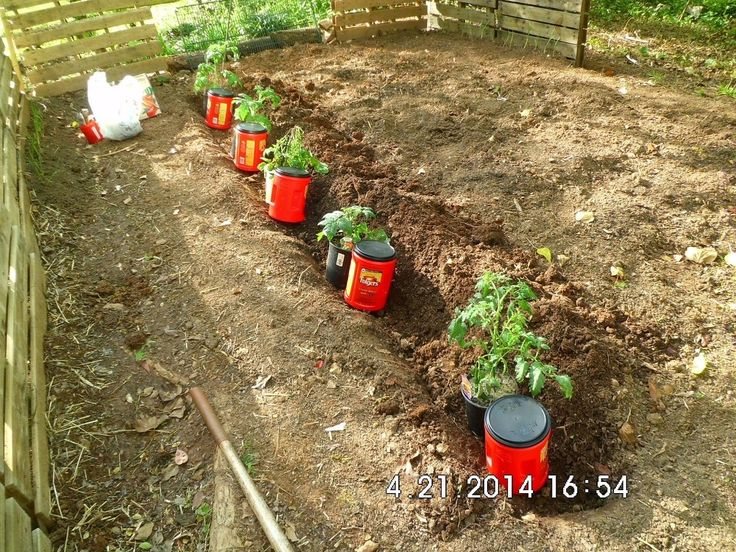 Tomato Companion Planting - I avoid watering the leaves of my tomato plants and avoid wasting water at the same time by planting repurposed coffee containers th