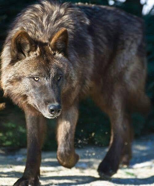 Stunning Wolf
