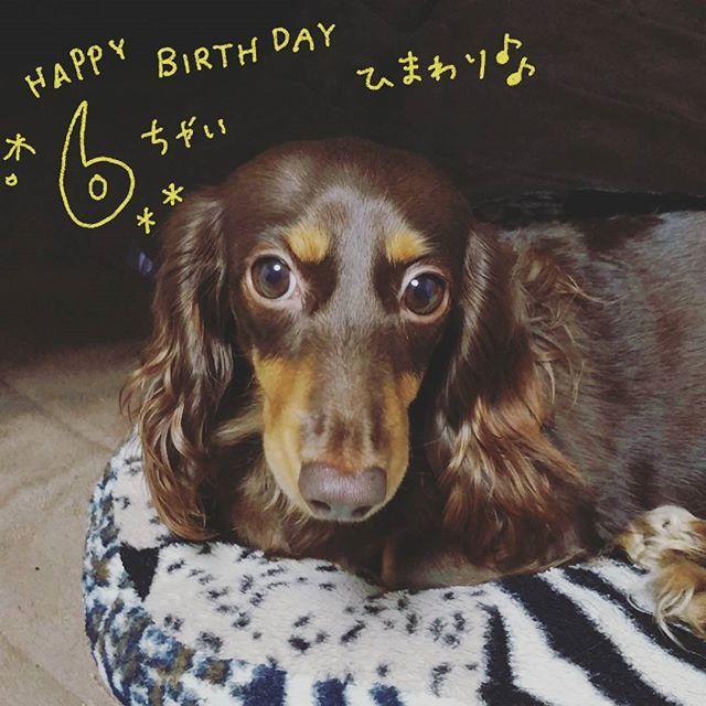 6月18日は愛犬ひまわりの誕生日でした! …すっっっかり忘れてたよ( ゚ー゚)テヘ 我が家のワンコたちの中でも1番の年上わんこ。 最近中年太りしてきたね(笑) おめでとーう! · #ダックス #ダックスフンド #ミニチュアダックスフンド #愛犬 #犬 #dog #愛犬バカ #多頭飼い #チョコタン #まろ眉 #🐶 #🐾 #バースデー #birthday