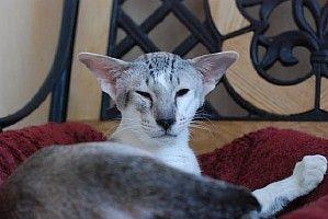 JUNGLE питомник: ориентальные и сиамские кошки - ориенталы и сиамы. Ориентальный кот Hollywood Fire Jungle.