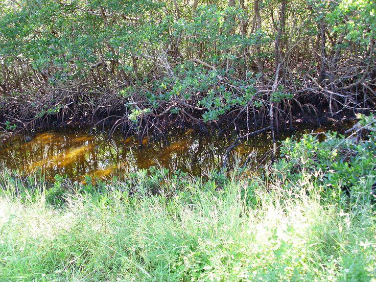 Mangue presente no Refúgio Nacional da Vida Selvagem JN Ding Darling, na Ilha Sanibel, Flórida, USA.  Fotografia: Quadell.
