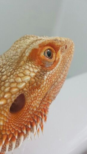 32 best images about Bearded Dragons on Pinterest | Colors ...