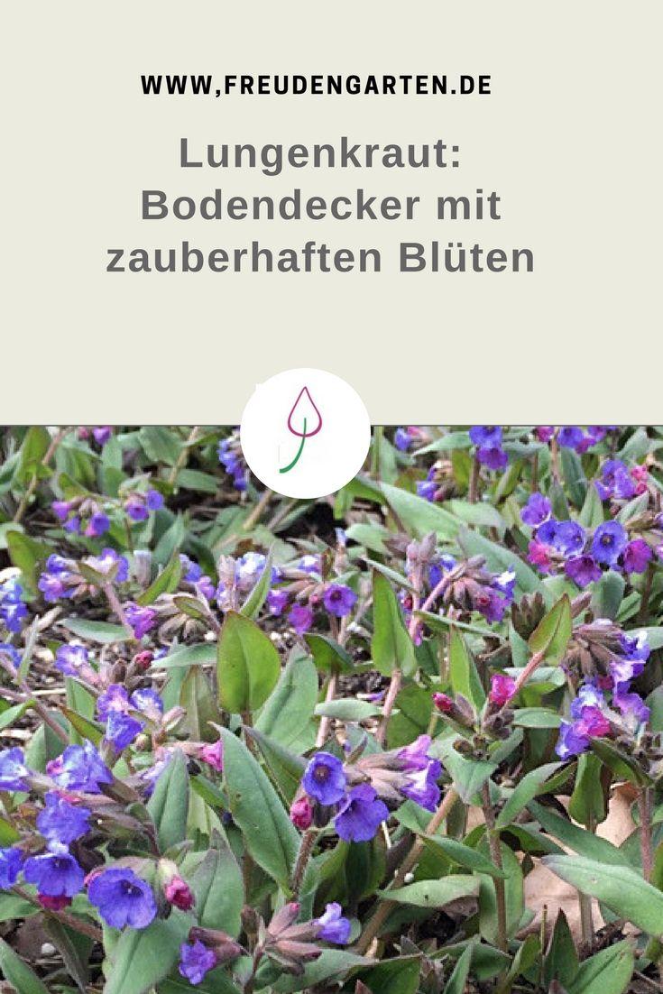 Lungenkraut Zarte Staude Im Fruhling Herbs Pinterest Garden
