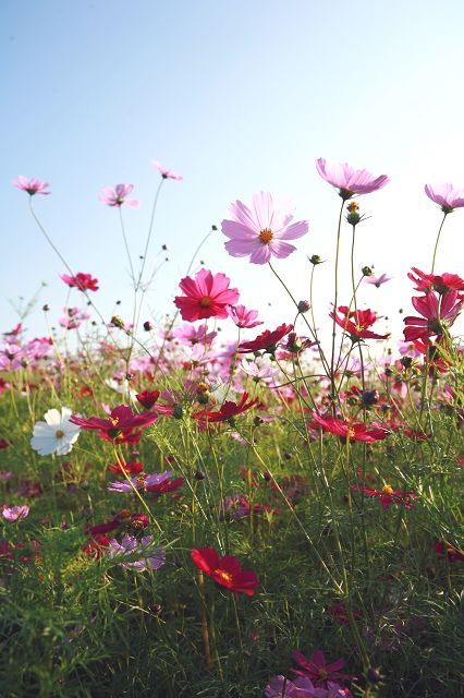 Such a beautiful pic of cosmos happily living in the summertime!  Ahhh..