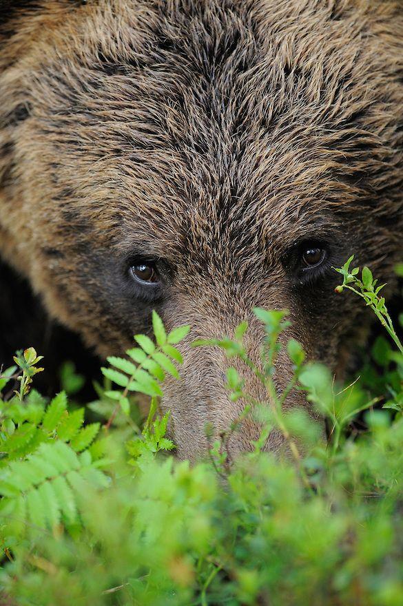 Eurasian Brown Bear, Ursus arctos.Suomussalmi, Finland.