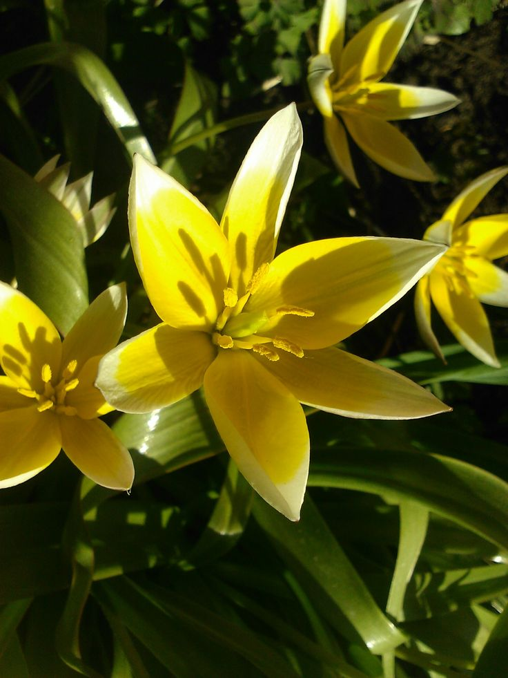 Kevät ja tulppaanit