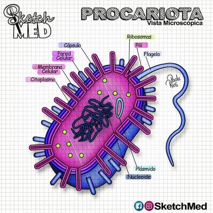 Procariota Células Procariotas Dibujos De Celulas Procariota