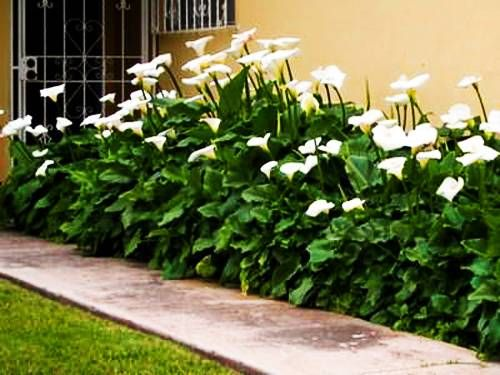 Calla Lily Flowers Add Gracious Beauty to Landscaping Ideas and ...