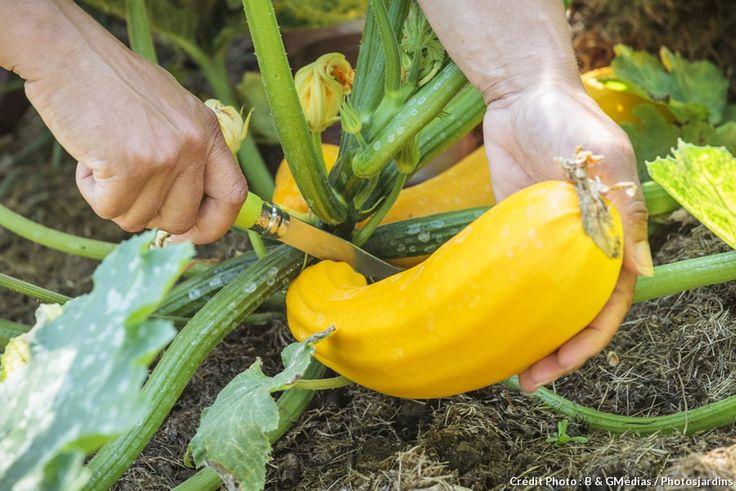 Installez des plantes de courgettes en veillant à bien les espacer