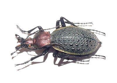 Carabidae Carabus (Coptolabrus) sp. China 38mm A2 • CAD 28.74