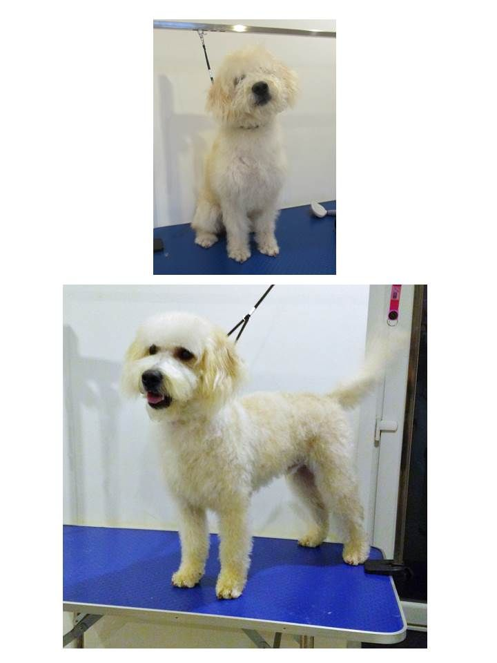 32 best dog grooming at the dog hut cheltenham images on pinterest labradoodle dog grooming labrador dog grooming business solutioingenieria Image collections