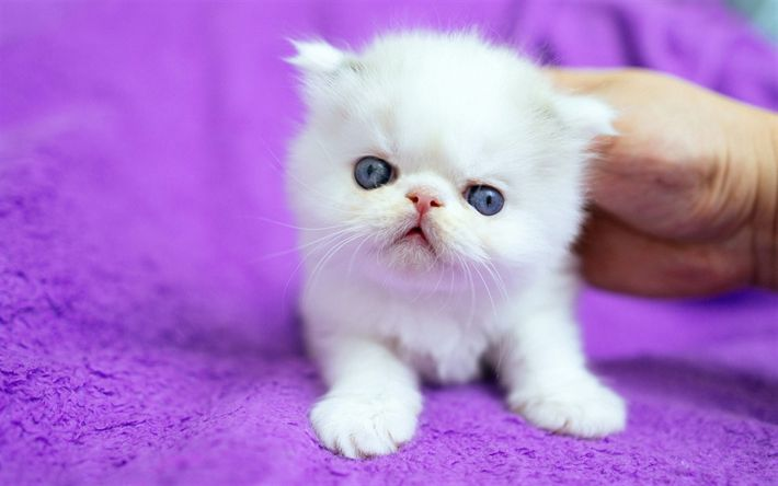 Download wallpapers white fluffy kitten, small cute animals, pets, British cat, breeds of cats, small cats