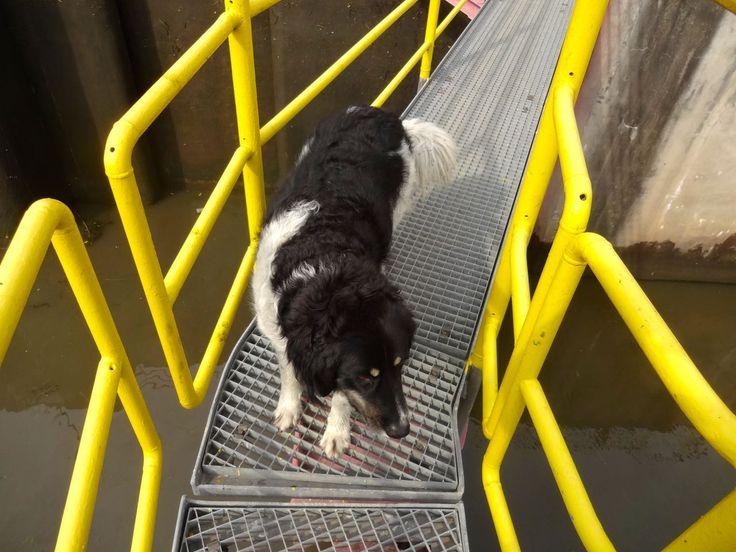 Stopień Dąbie, czyli były sobie raz dwa psy