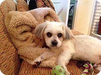 Glastonbury, CT - Shih Tzu/Yorkie, Yorkshire Terrier Mix. Meet Snowball, a dog for adoption. http://www.adoptapet.com/pet/11894406-glastonbury-connecticut-shih-tzu-mix