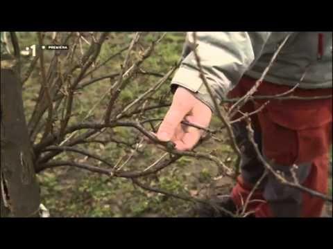 Ríbezle rez jarný - YouTube
