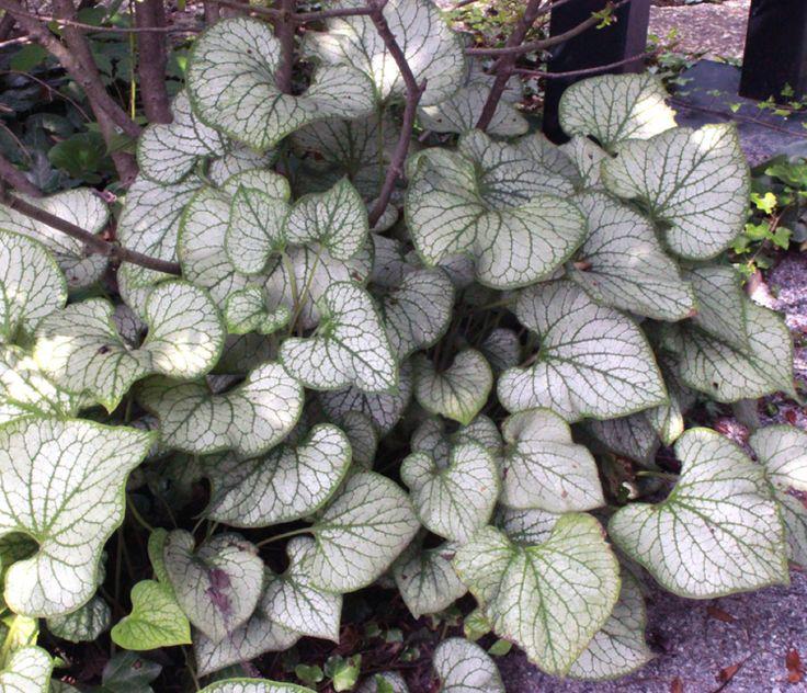 silberlaubige-pflanzen-garten-topfpflanze-Kaukasus-vergissmeinnicht-jack-frost