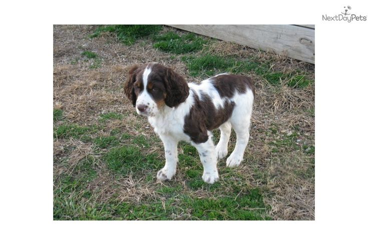 English Springer Spaniel Puppy for Sale: English Springer Spaniel for sale - 150fbd6e-c181