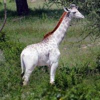 Ritka fehér zsiráf