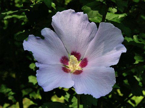ムクゲ 'シハイ'【木槿 '紫盃'、rose of sharon 'Shihai'】