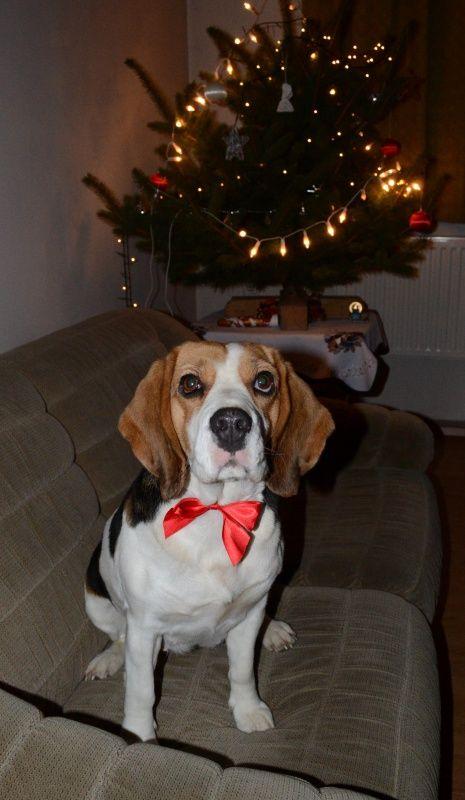 """Nevezz be te is beagle kutyádról készült, karácsonyi, vagy szilveszteri fényképeddel!Ha a fotódat a szerkesztők beválogatják a legjobbak közé...   Karácsonyi, Szilveszteri (Ünnepi) Beagle Fotópályázat #bchufotopalyazat2015 #beagle #kutya #beagleclub #lizi #szilveszter #buék """"Bigi karácsonya 2015"""" @nyusoo31  Karácsonyi (Ünnepi) Beagle Fotópályázat: http://bit.ly/beaglekaracsonyiunnepibeaglefotopalyazat  KÉPEK: http://bit.ly/beagleclubhu-fp-kepek"""