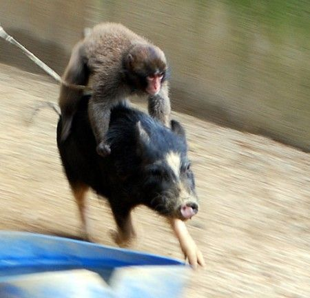 monkey and pig relationship