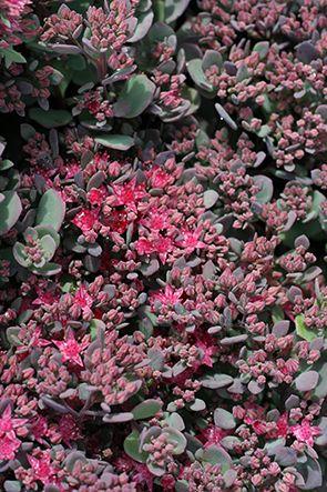 Liten kärleksört, Hylotelephium cauticola, Årets perenn 2016. Liten kärleksört är en växt för full sol och väldränerad jord, som gärna får vara torr och mager. - Precis som andra former av kärleksört blir den vackrast under ganska magra förhållanden. Där utvecklar plantorna ett kompakt växtsätt och den mest intensiva blomfärgen. 10 cm. Blom aug sept