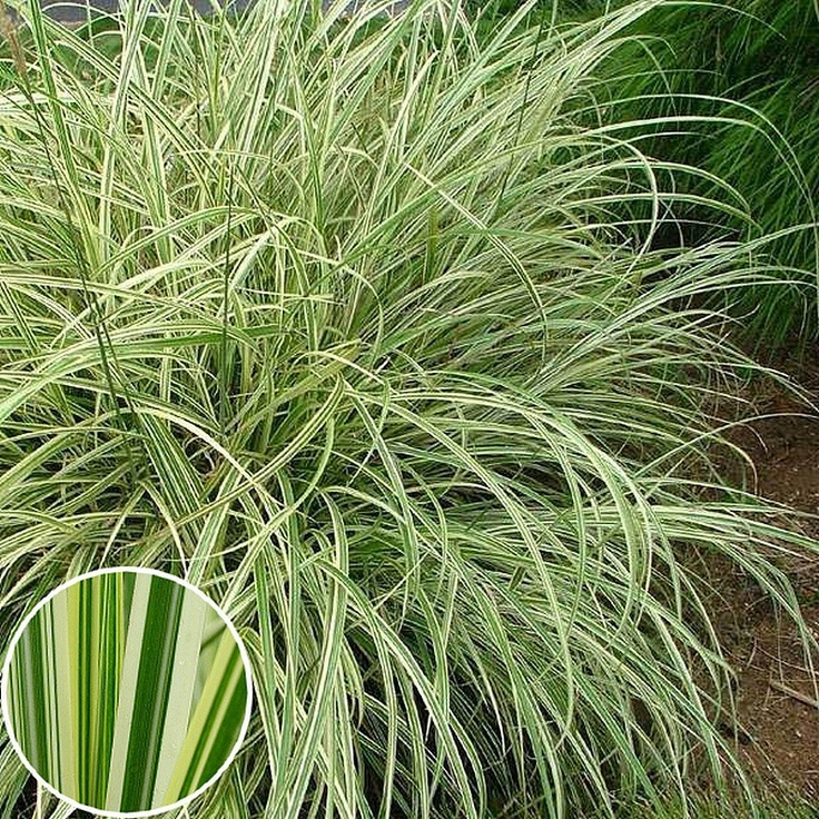 miscanthus sinensis 39 variegatus 39 silver grass grasses. Black Bedroom Furniture Sets. Home Design Ideas