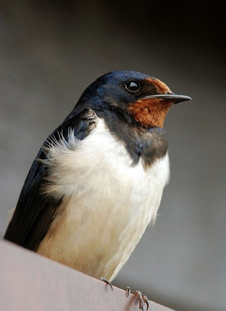 ♥ Barn Swallow ~ Hirundo rustica        watching out for them..07/04/14