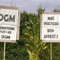 Interdiction du maïs OGM : des sénateurs UMP saisissent le Conseil constitutionnel