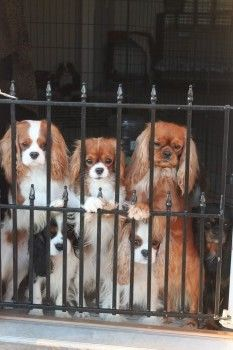 Cavalier King Charles Spaniels Puppies |Photos|Texas | Photos | For Sale | New York | Florida - null