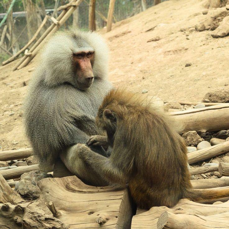 Monos en #Parque #Zoológico Buin Zoo #Animal