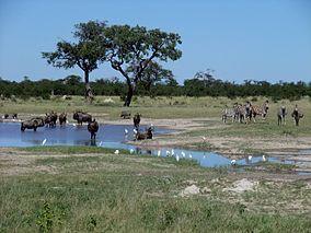 Gnus zebras chobe national park, Botswana