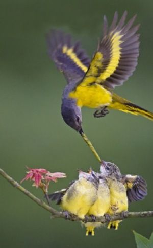 Fairy-wren: Yellow Throated Minivet