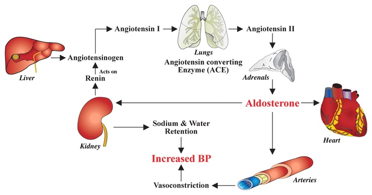 Don't you ever forget the renin-angiotensin-aldosterone ...