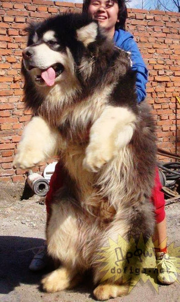OMG this dog is huge!  Top 10 Largest but Affectionate Dog Breeds