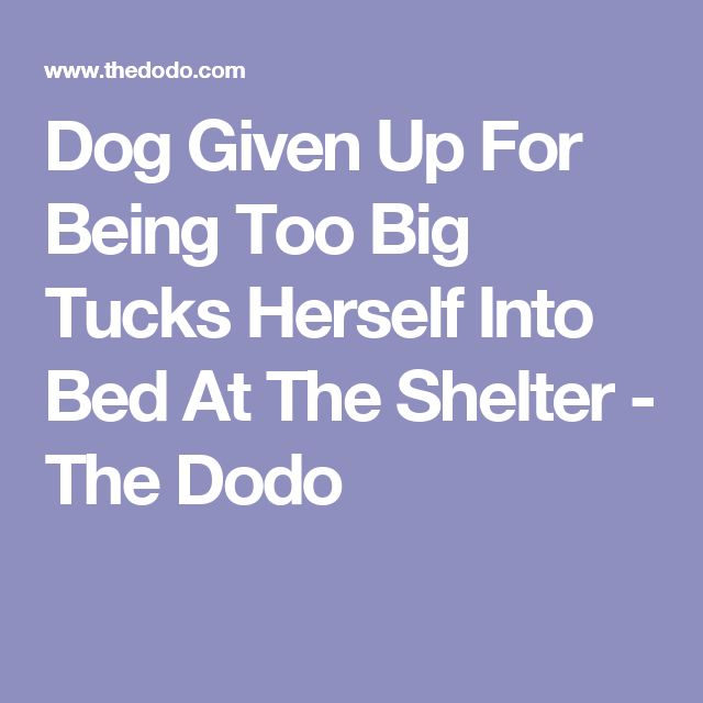 Dog Given Up For Being Too Big Tucks Herself Into Bed At The Shelter - The Dodo