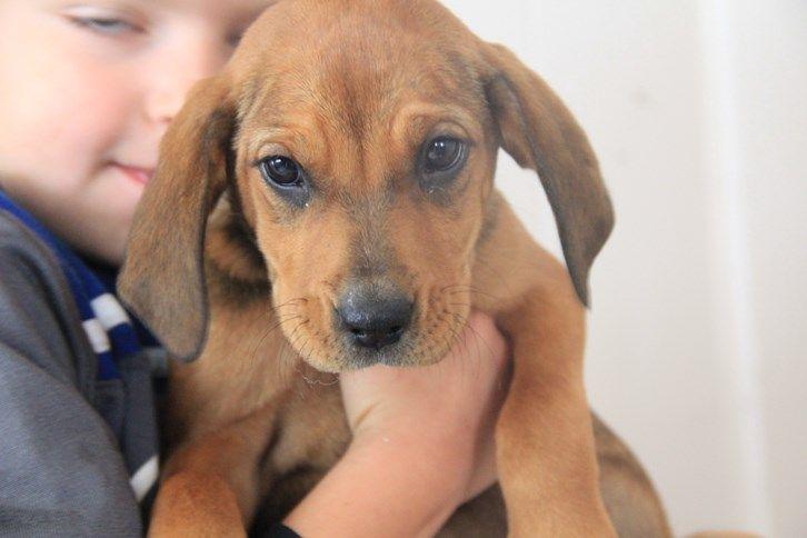 Petfinder Adoptable Dog Hound West Milford, NJ