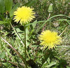 12 Nutritious Edible Weeds