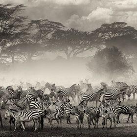 Africa | Zebras on the Serengeti plains, Tanzania. | by Giulio Zanni