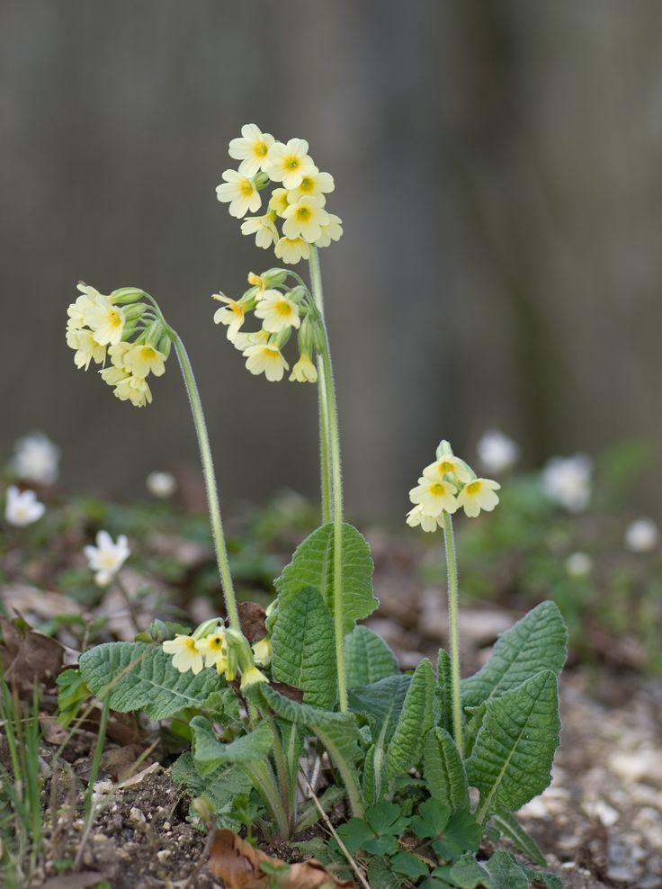 Prvosenka vyšší (Primula elatior) prvosenkovité  (Primulaceae)