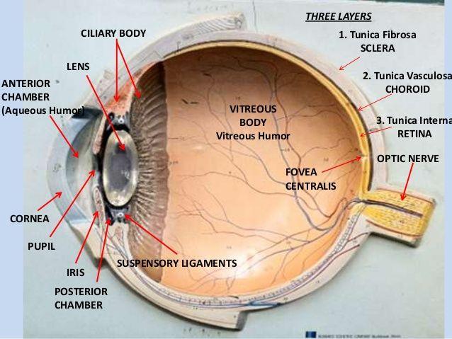 Eye model labeled anatomy