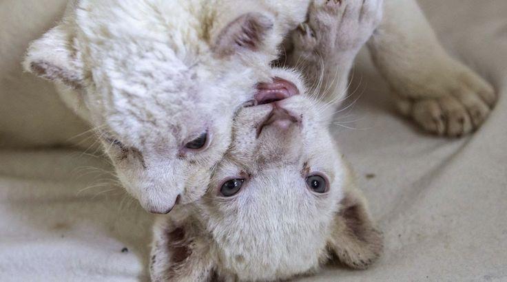 MASCOTAS EXÓTICAS Y MÁS: Dos crías de leones blancos, los nuevos engreídos ...