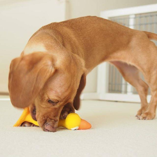 I caught the chicken toy✨❤チキンさん捕まえたよ#ダックスフンド #ミニチュアダックスフンド #愛犬 #バニラ #スムースダックス#dachshund #dachshunds #dogs #dog #dogs_of_instagram #ig_dogphoto  #instadog #doxie #doxielove #cute #cutepetclub #lovely #lovelydog #doglover #vanilla #smoothcoat #dogtoy #screamingchicken
