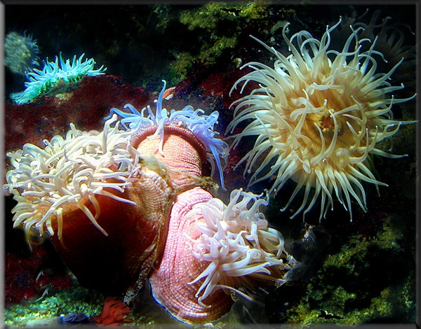 17 Best Images About Anemones On Pinterest Flats Pet